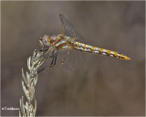 Variegated Meadowhawk (female)