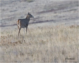 White tailed Deer (buck)