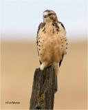 Swainson's Hawk (Juvenile)