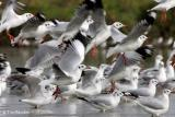 Brown-headed Gulls
