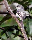 Ashy Minivet  (female)