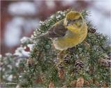 Red-Crossbill  (female)