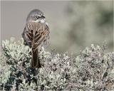 Sage Sparrow ( sitting on sage)