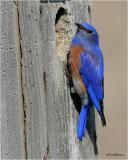 Western Bluebird (male)