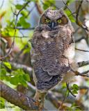 Great Horned Owl  (fledgling)