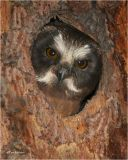 Northern Saw-whet Owl  (fledgling)