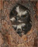 Northern Saw-whet Owl (Fledglings)