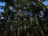 Looking up into the pine trees