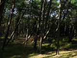 Bent pine forest on the spit
