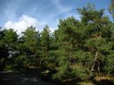 Pines along a sandy stretch