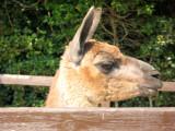 Passing llama