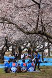 Festival participants under the sakura