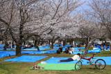 Hanami tarps lying in wait