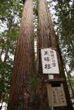 Meoto-sugi (twinned Japanese cedar)