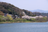 Cherry blossoms across the Seta-gawa