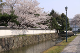 Rebuilt wall and cherry blossom outside the park