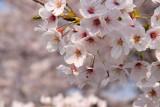 Sakura blossom detail