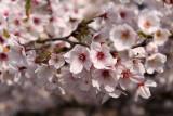 Sakura blossom detail #2