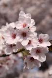 Sakura blossom detail #3