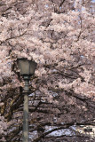Lantern wreathed in cherry blossoms