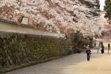 Temple wall and overhanging sakura