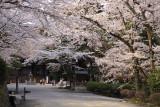 Sakura-lined main path in Mii-dera