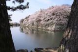 Sakura-framed walls beside the moat