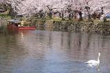 Swan watching a yakata-bune tourist boat