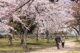 Cherry blossom grove in the Nishino-maru