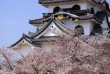Sakura in full bloom beneath the donjon