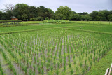 Rice paddy in Kōraku-en