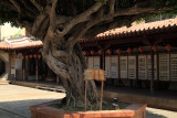 Old banyan tree in the courtyard