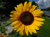 Sunflower by the lake