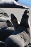 Elephant Seal at San Simeon Beach,California,