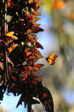 Winter butterflies at  Pismo Beach park, CA.