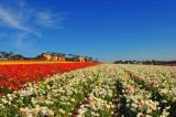 Carlsbad flower fields 2009