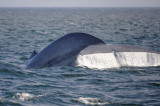 Blue Whale 1 Diving 2