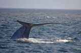 Blue Whale 1 Diving 4