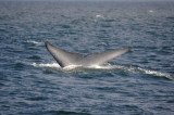 Blue Whale 1 Diving 6