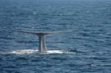 Blue Whale 2 Diving 3.