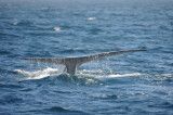 Blue Whale 3 Diving 4.