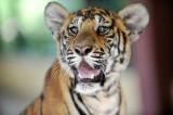 Tiger,Chiang Mai, Thailand