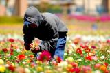 Worker at Carlsbad Flower Fields. 2006