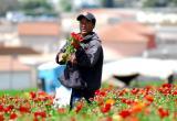 Worker at Carlsbad Flower Fields. 2006