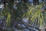 IMG_2884-white_pine.jpg
