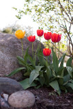 IMG_3395-tulips.jpg