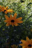 _MG_9456-Black-Eyed_Susan.jpg