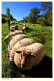 Sheep from the land of Marl