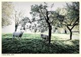 Sheep in Strucht