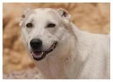 Shepard Dog with docked ears